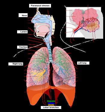 A felnőtt keresztfű az emberi tüdőben él