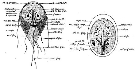 a giardiasis terjed fiatal vastagbélrák