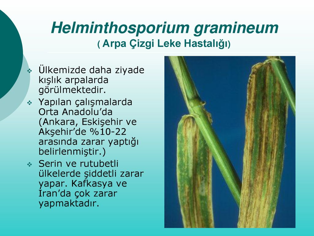 Helminthosporium sativum árpa. A szántóföldi növények betegségei | Digitális Tankönyvtár