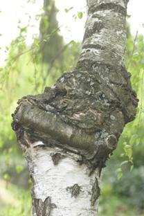 rák a fákon