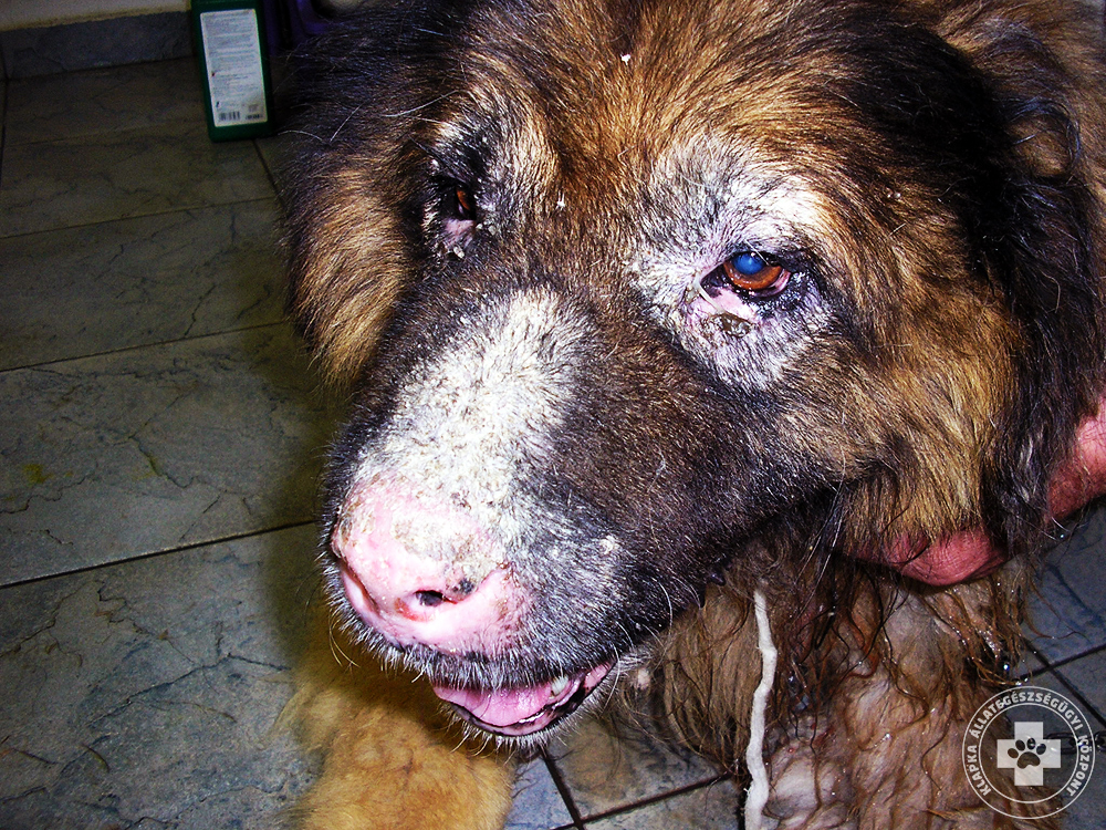 kutya mancs dermatitis