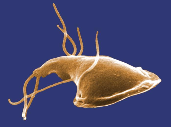 Giardien zyste. Opisthorchiasis és lamblia Giardien zysten im kot