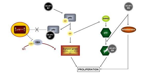 hpv és p16 genitális szemölcsök az urológiában