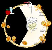 a giardiasis ellenállása
