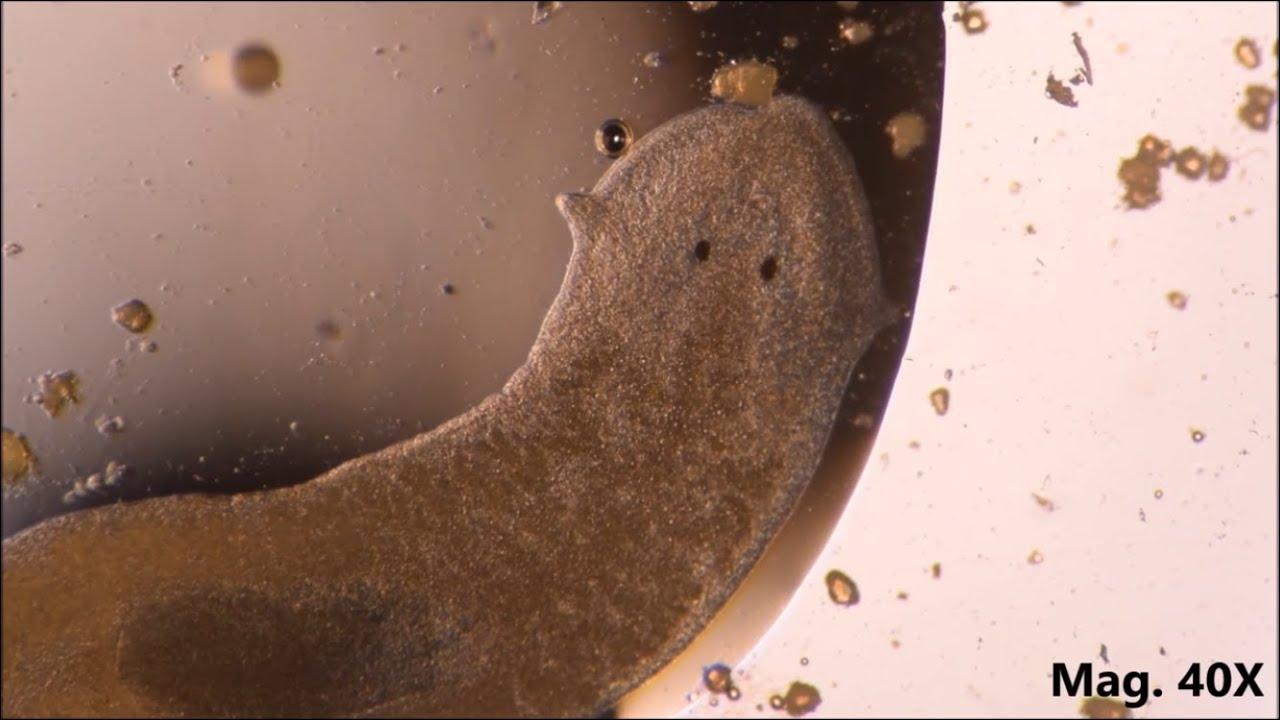 platyhelminthes természetes élőhely