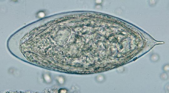 A kínai gyártmányú Praziquantel a Schistosoma Haematobium kezelésére