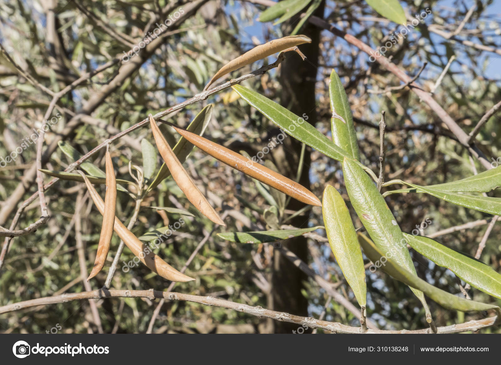 xylella olivier baktériumok