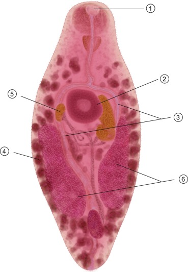 Neorickettsia helminthoeca, Bolha allergia