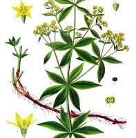 echinacea a genitális szemölcsöknél