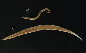 az enterobiasis oxiuriasis