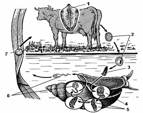 a sík platyhelminták formája A genitális szemölcsök meggyógyultak