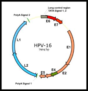 emberi papillomavírus a nyelv alatt