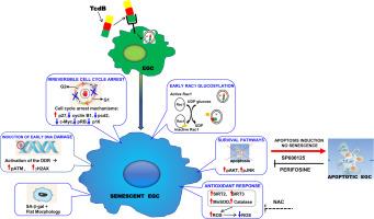 clostridium toxin b
