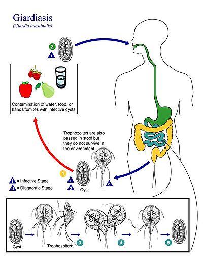 diéta a giardiasis kezelésére