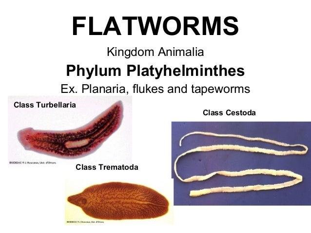 Platyhelminthes fajpéldák