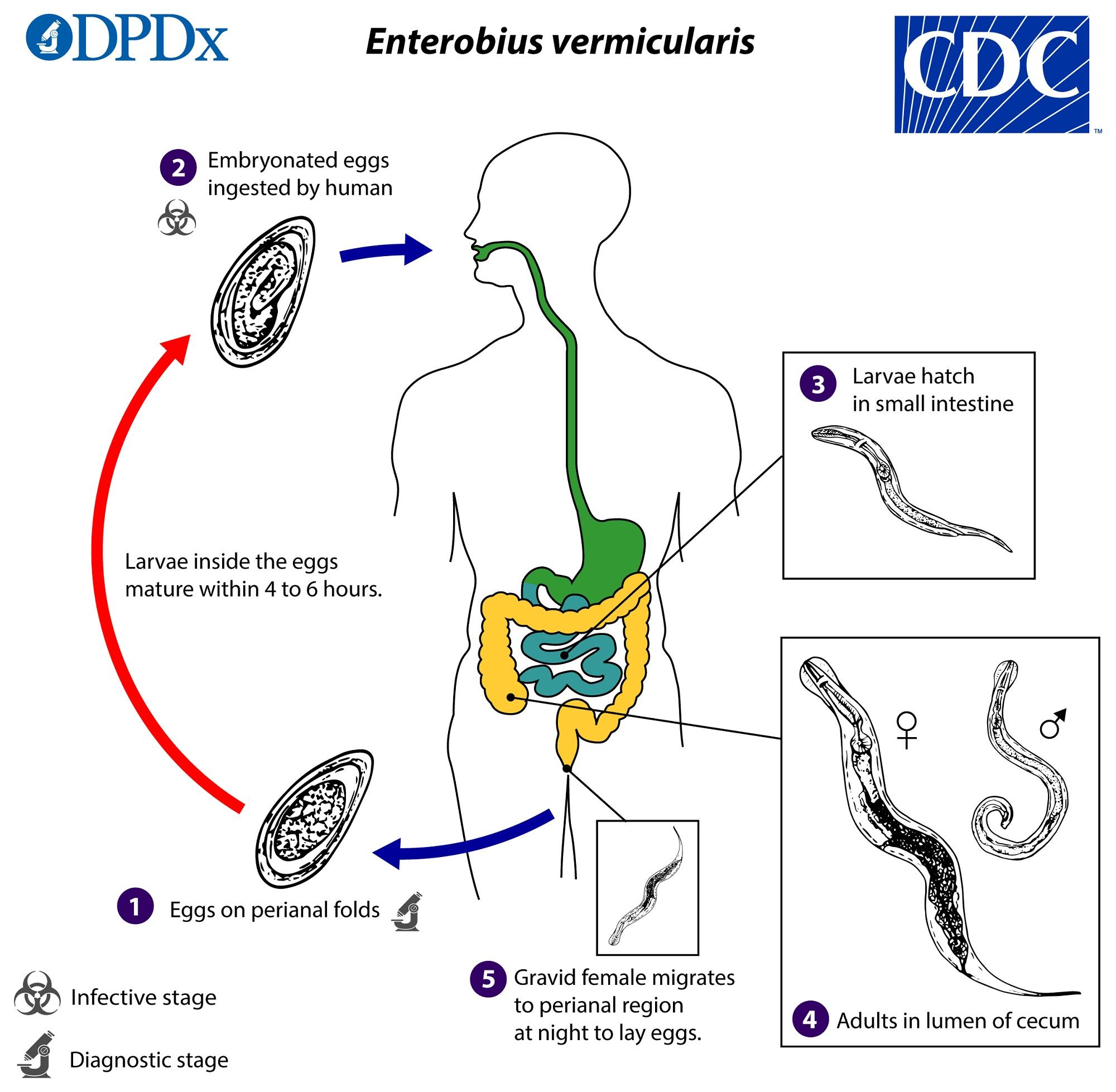 Pinworm ciklus, Pinworm tojás férgek - Pinworm ciklus