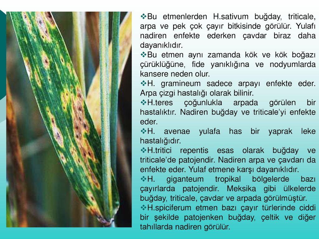 Barna levélfoltosság (Bipolaris sorokiniana = Helminthosporium sativum)