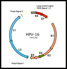A humán papillomavírus szerepe a méhnyakrák kialakulásában