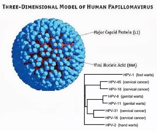 humán papilloma vírus penyebab hpv vakcina mellékhatások vizsgálata