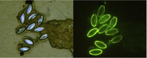 törpe parazita kezelés légi parazitákkal történő kezelés