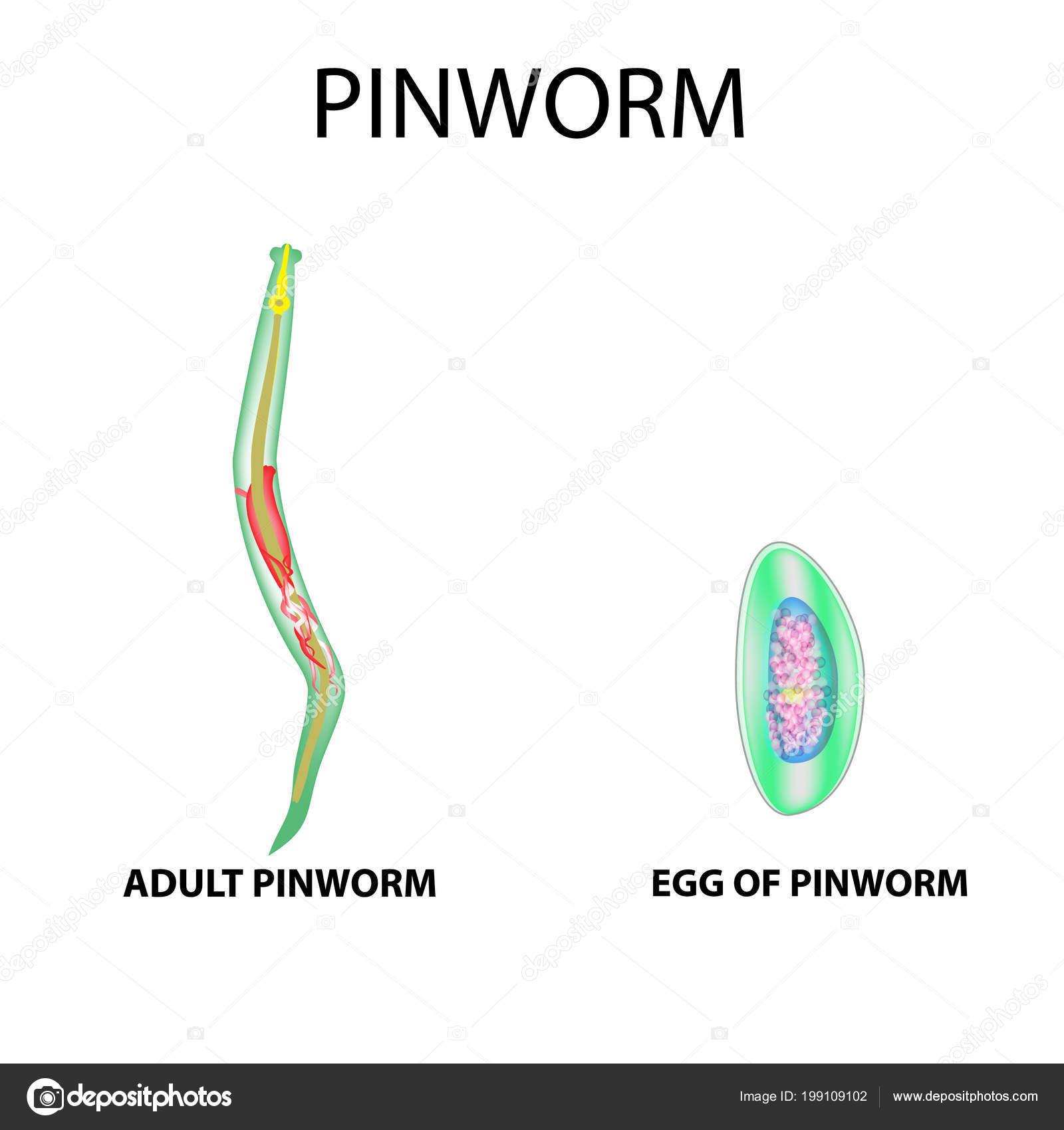 Pinworm fejlesztési szakasz táblázata Hogyan lehet eltávolítani pinworms felnőttek