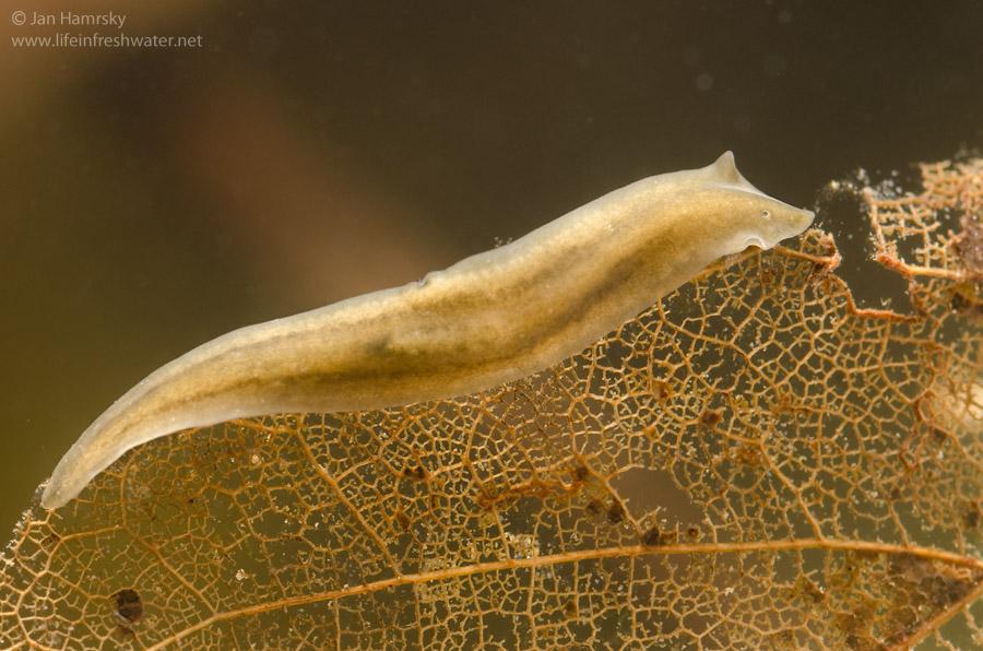 Platyhelminthes turbellaria tricladida. MATARKA - Cikkek listája